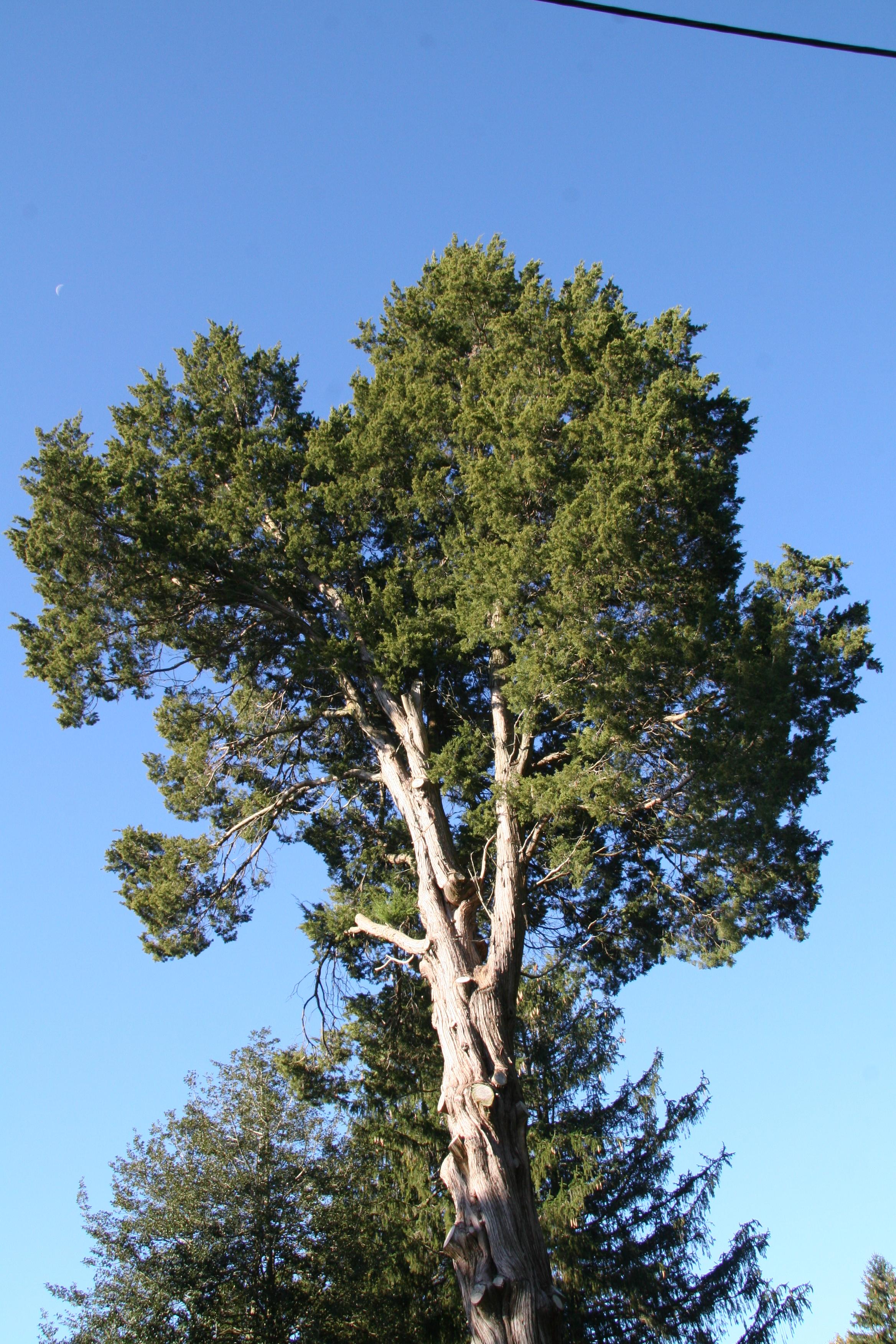 Eastern redcedar delaware trees