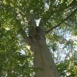 Champion Trees 001 (7)