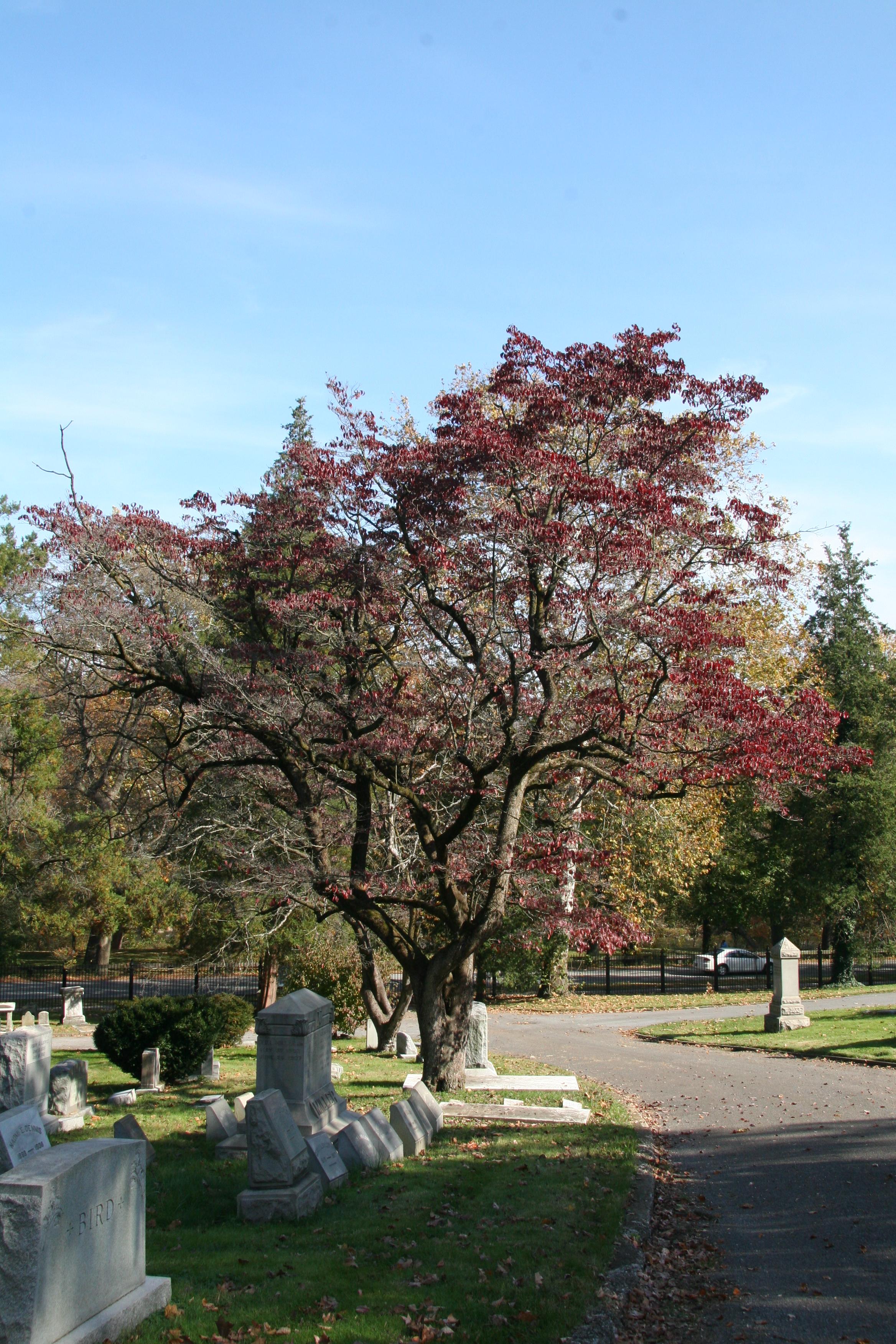 Dogwood Delaware Trees