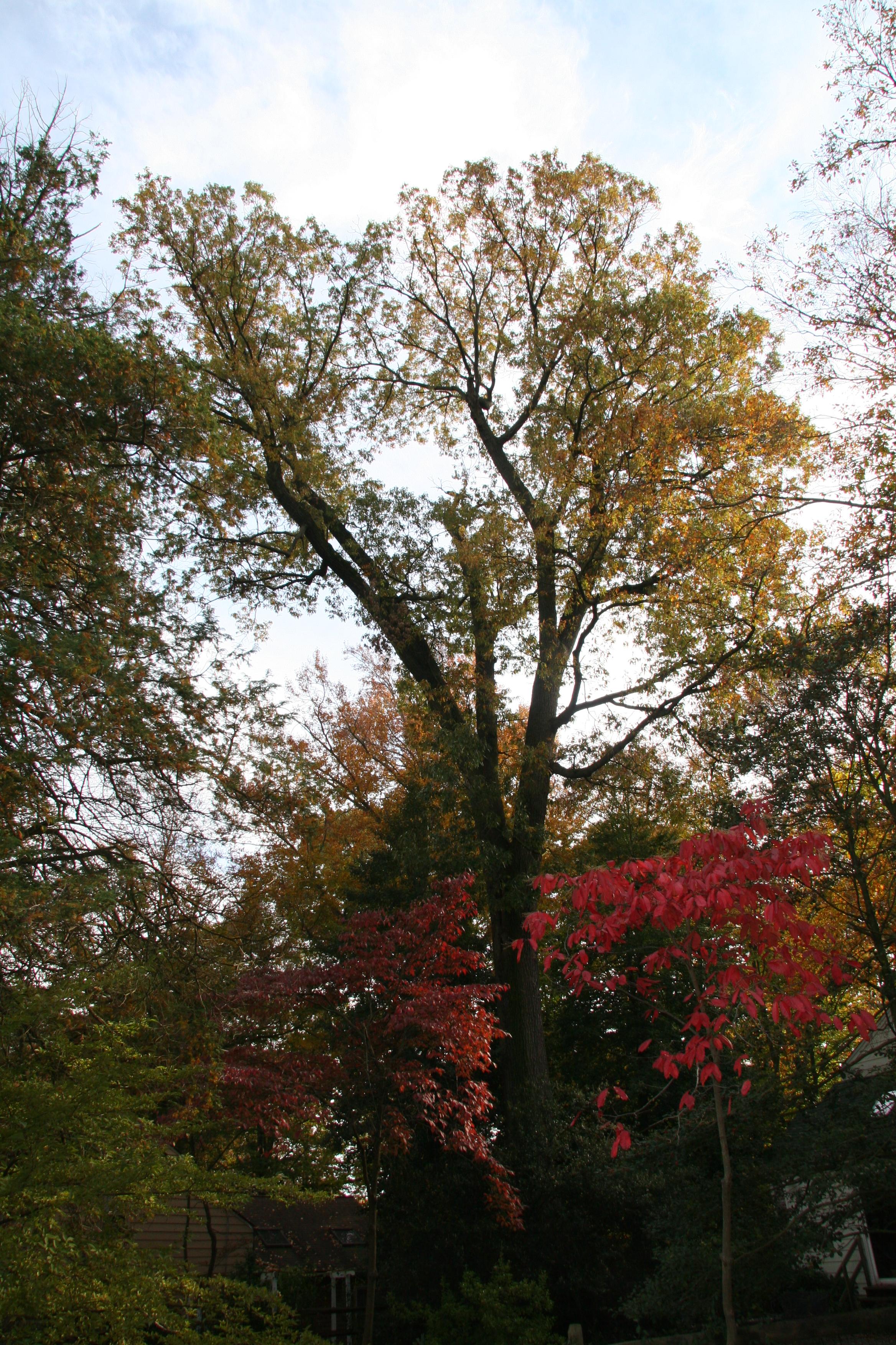 Black Oak Tree ~ Black oak delaware trees
