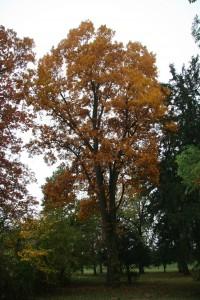 Pignut hickory