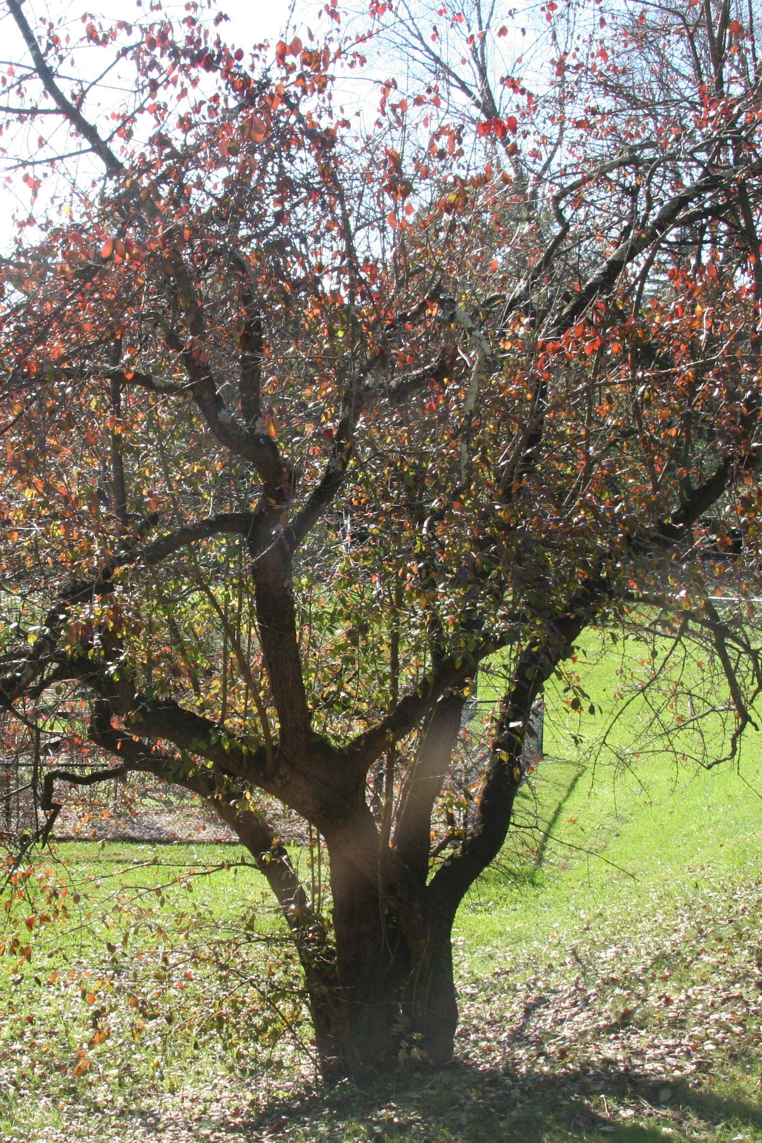 Blackhaw Viburnum Delaware Trees