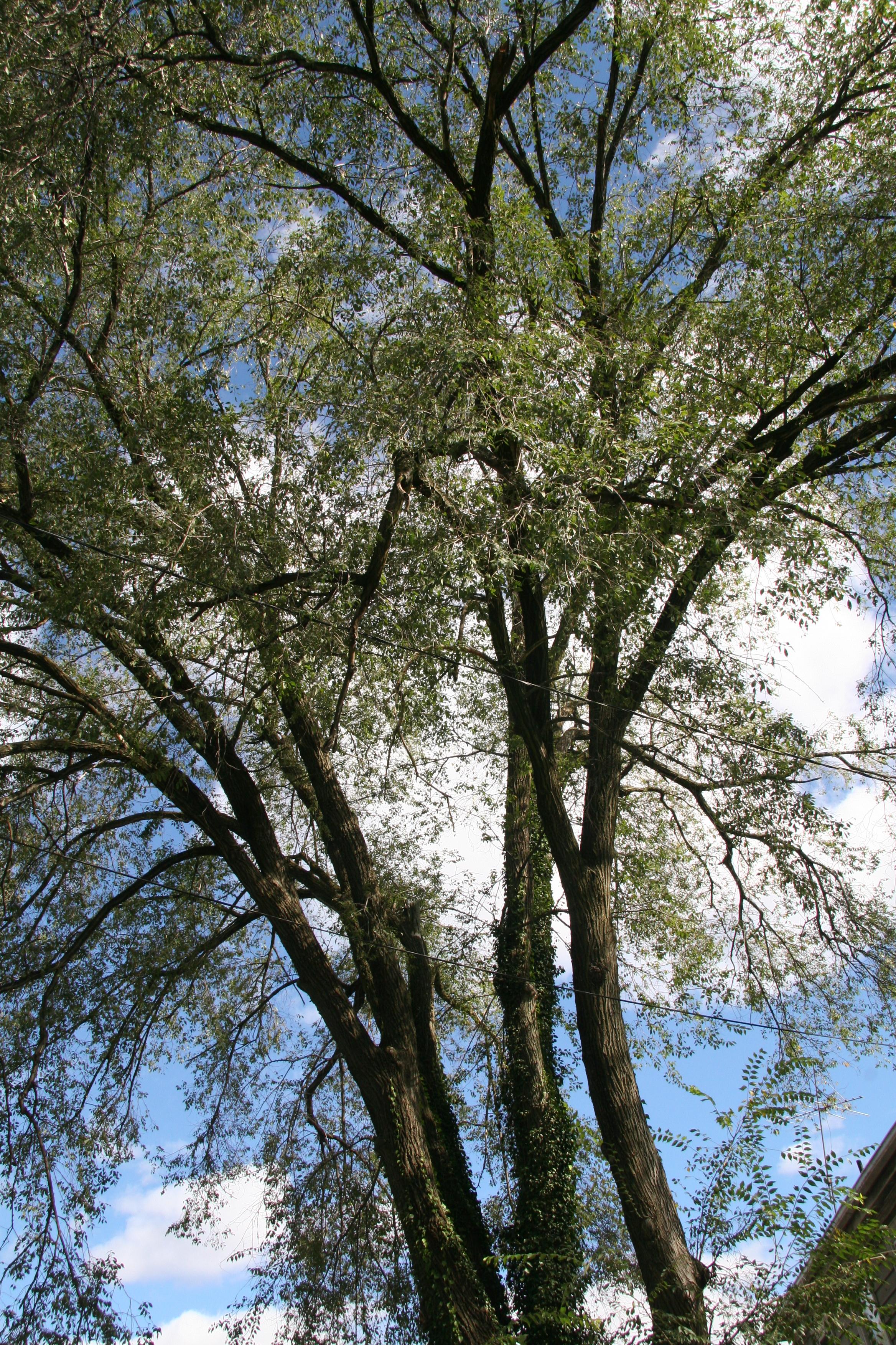 English Walnut Delaware Trees