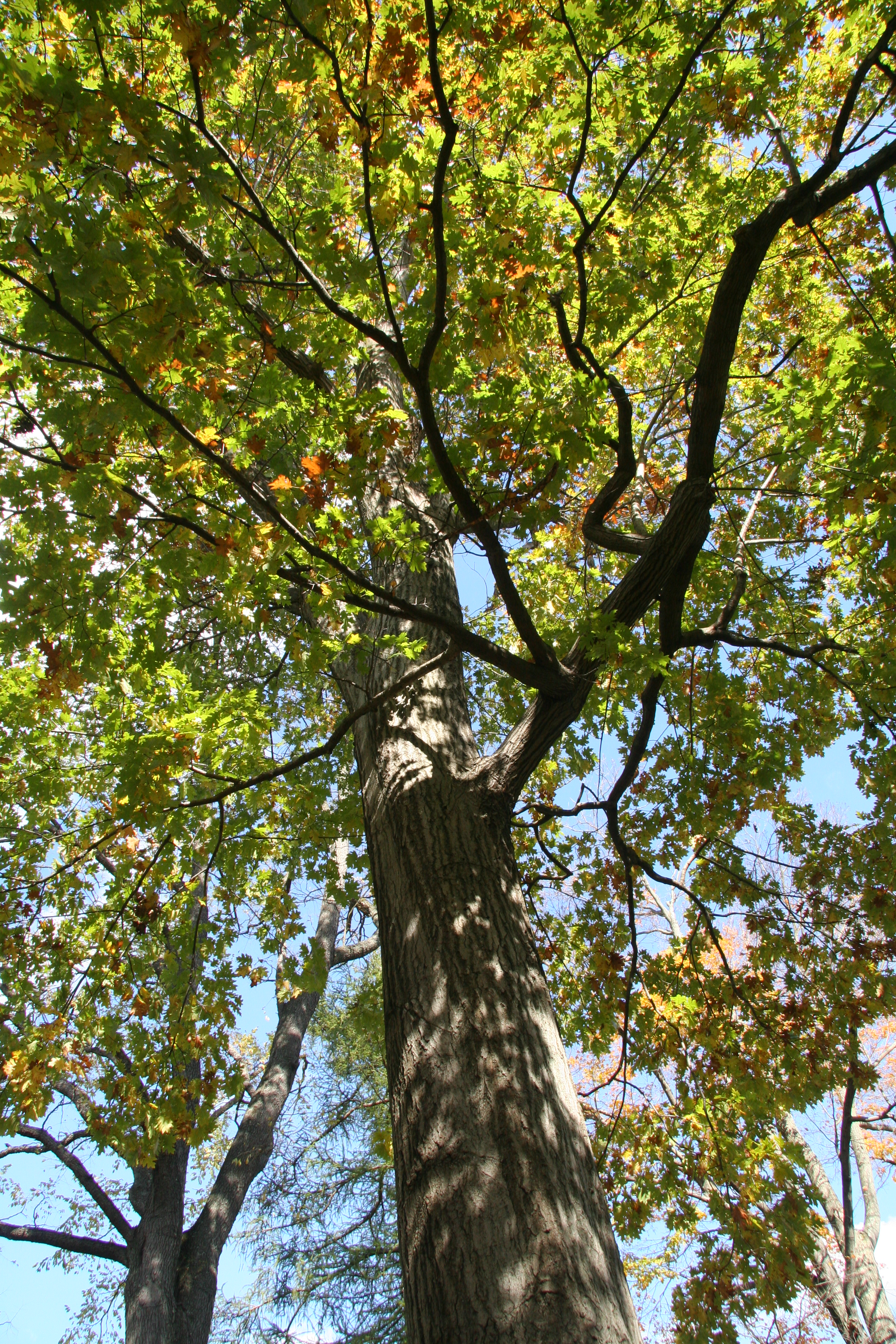 Northern Red Oak ~ Northern red oak delaware trees