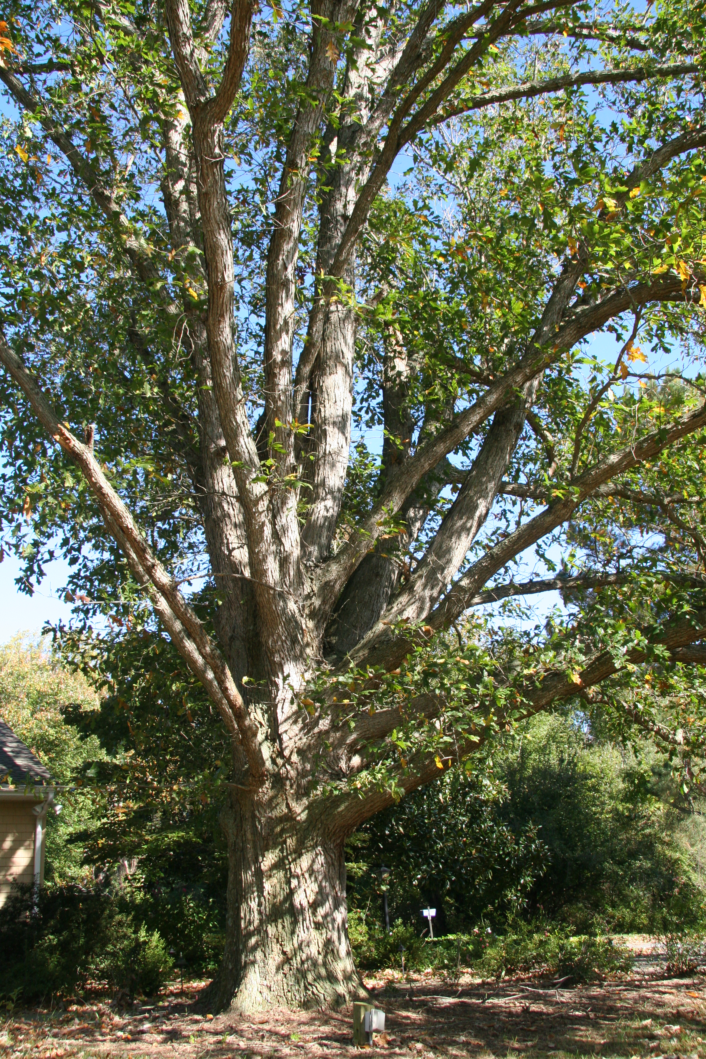 Overcup Oak Delaware Trees