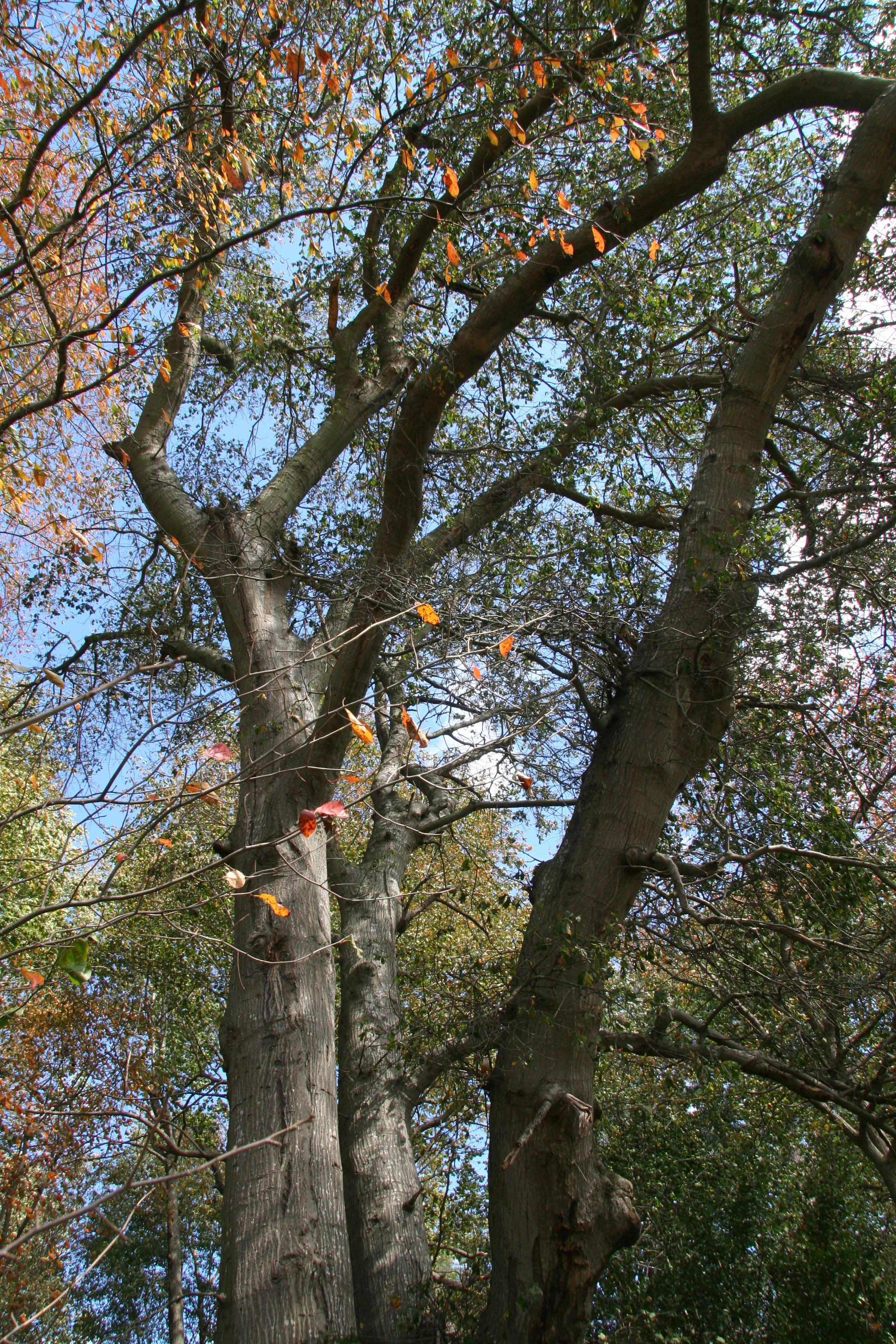 Water Oak Delaware Trees