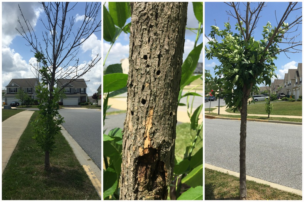 This severe damage to young ash trees on a street in a Middletown neighborhood was likely caused by the clearwing borer, a native insect that also attacks ash.