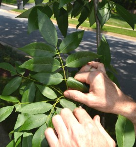 Ash trees have compound leaves with anywhere from 5 to 9 leaflets and an opposite branching pattern.