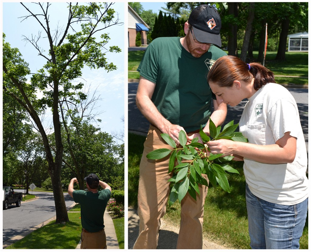 At left, Bill Seybold, forest health specialist with the Delaware Forest Service, looks at an ash tree slated for removal in the Tavistock neighborhood near Wilmington. At right, Seybold and staffer Taryn Orsatt inspect the ash tree leaves. There wer no signs of EAB however.