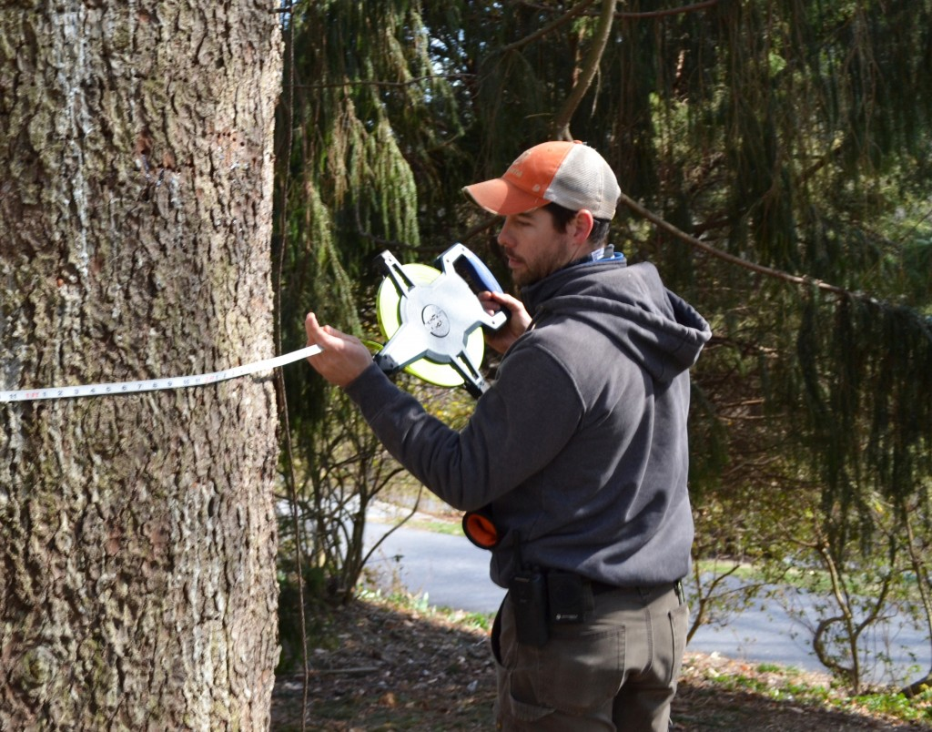 Kevin Braun, estate arborist at Winterthur, measures a state champion tree on the historic property.