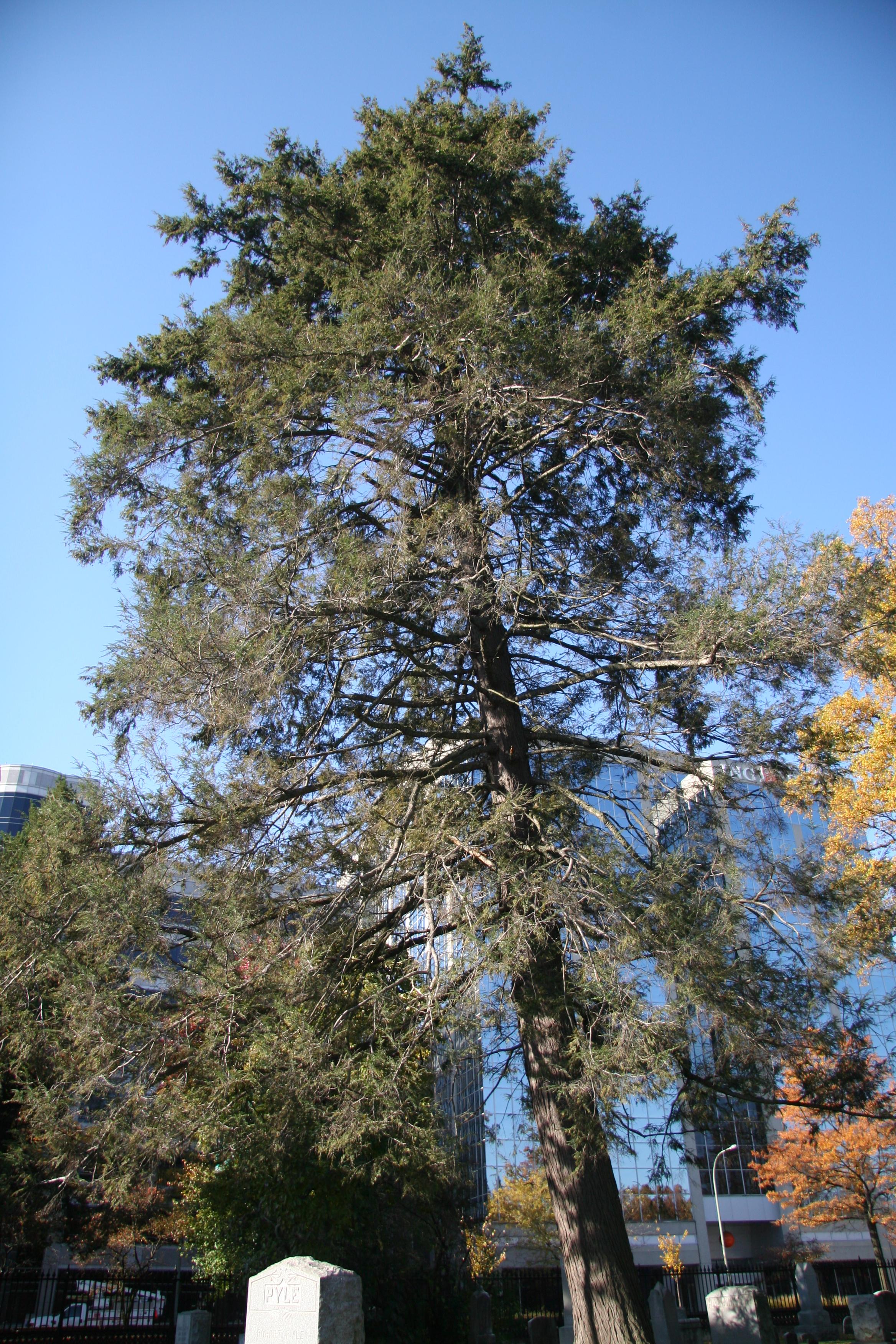 Eastern Hemlock Delaware Trees
