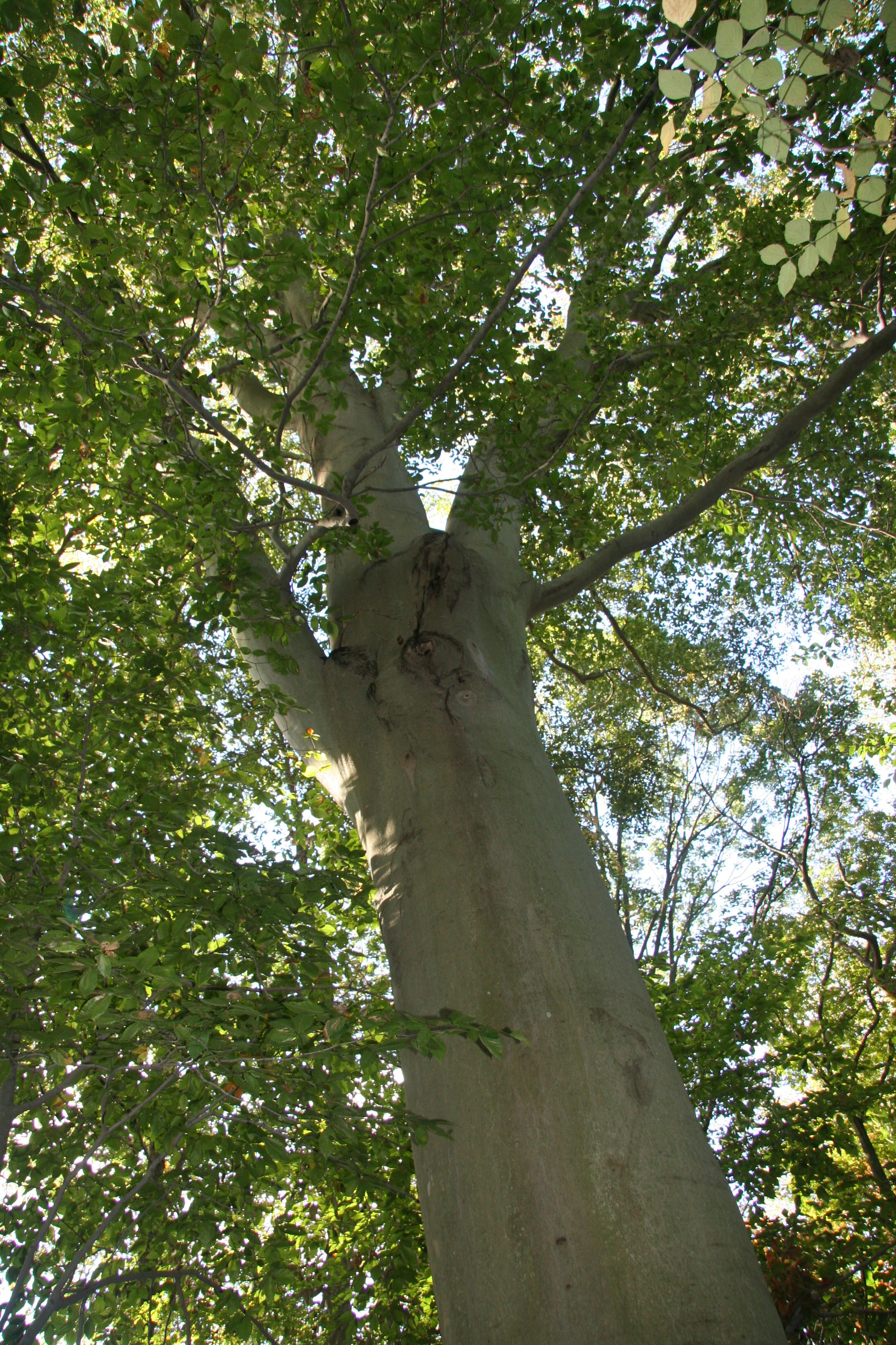 American beech – Delaware Trees