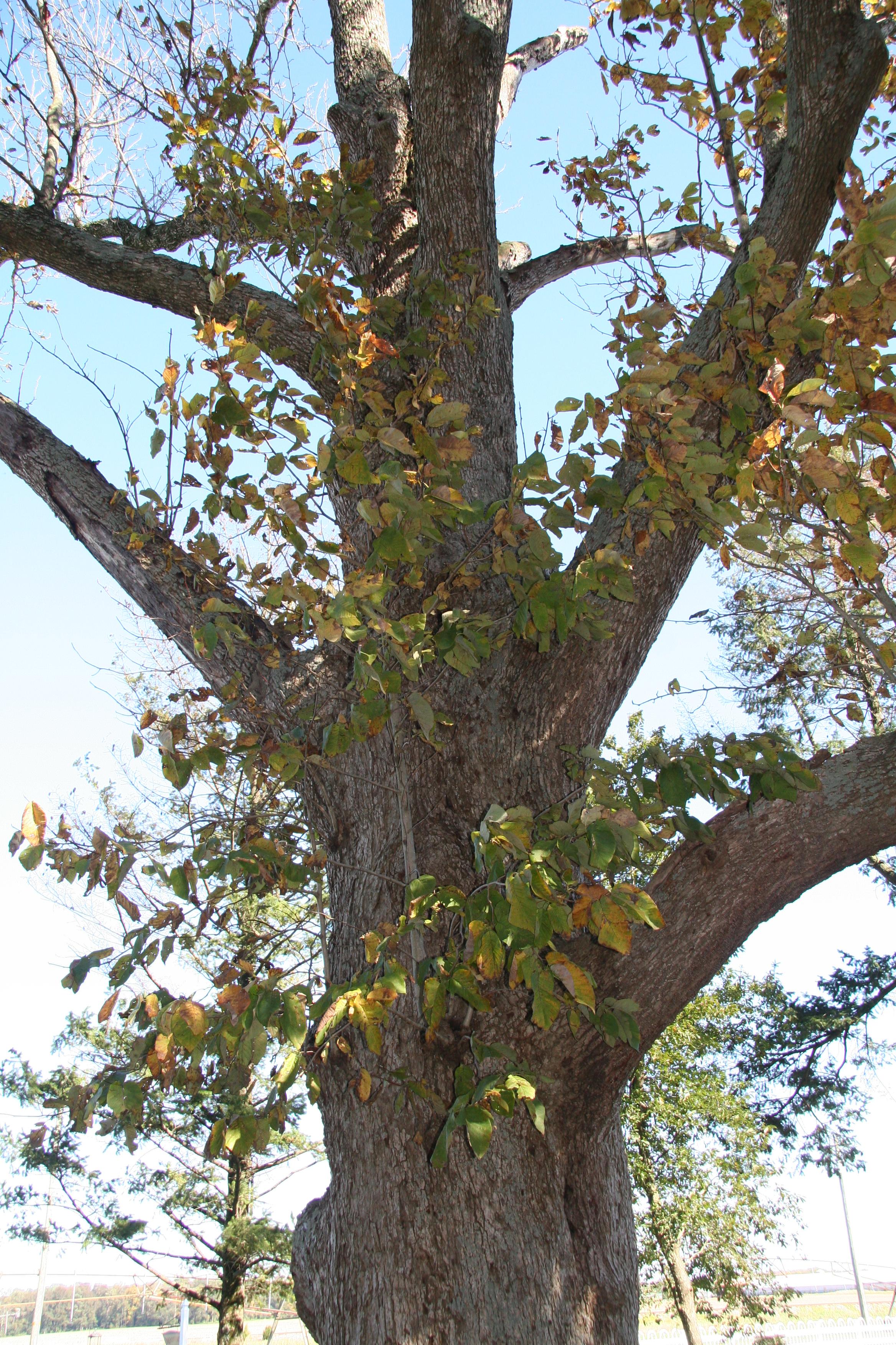 Cucumber Magnolia Delaware Trees