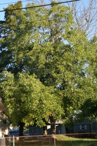 Honeylocust