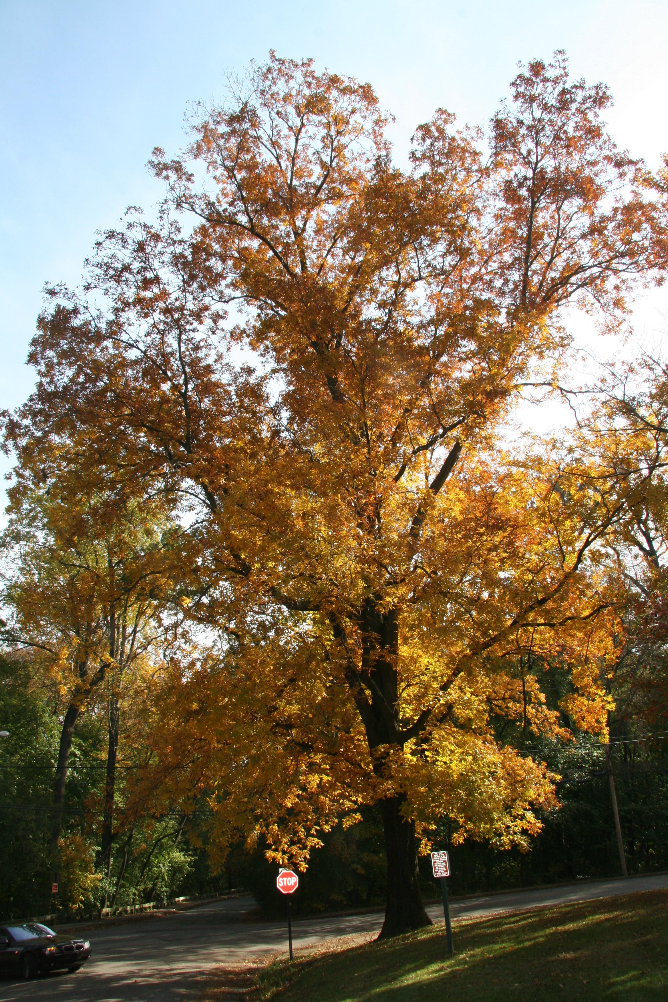 mockernut hickory  u2013 delaware trees