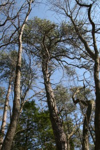 Pitch pinepinus rigida