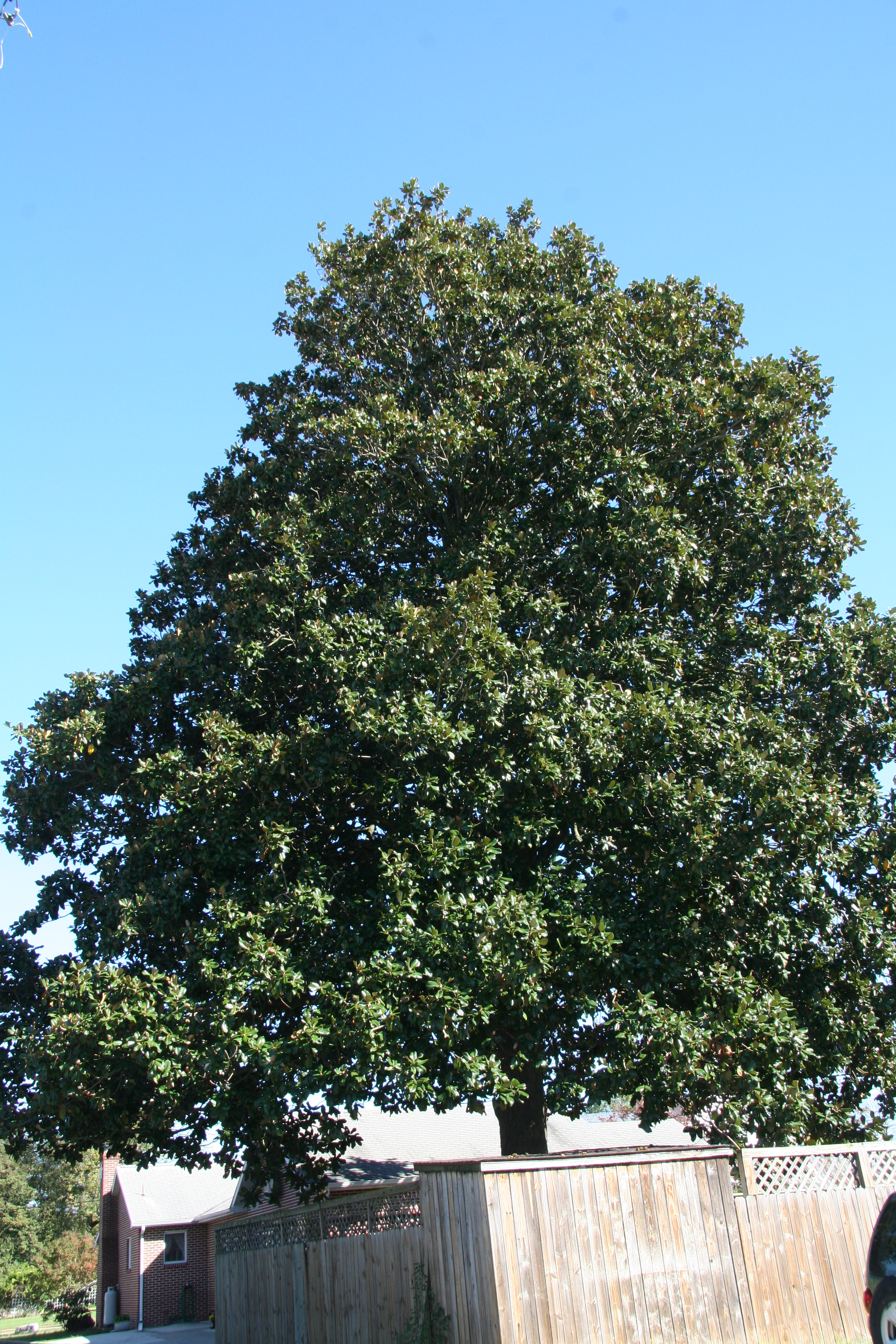 Southern Magnolia Delaware Trees
