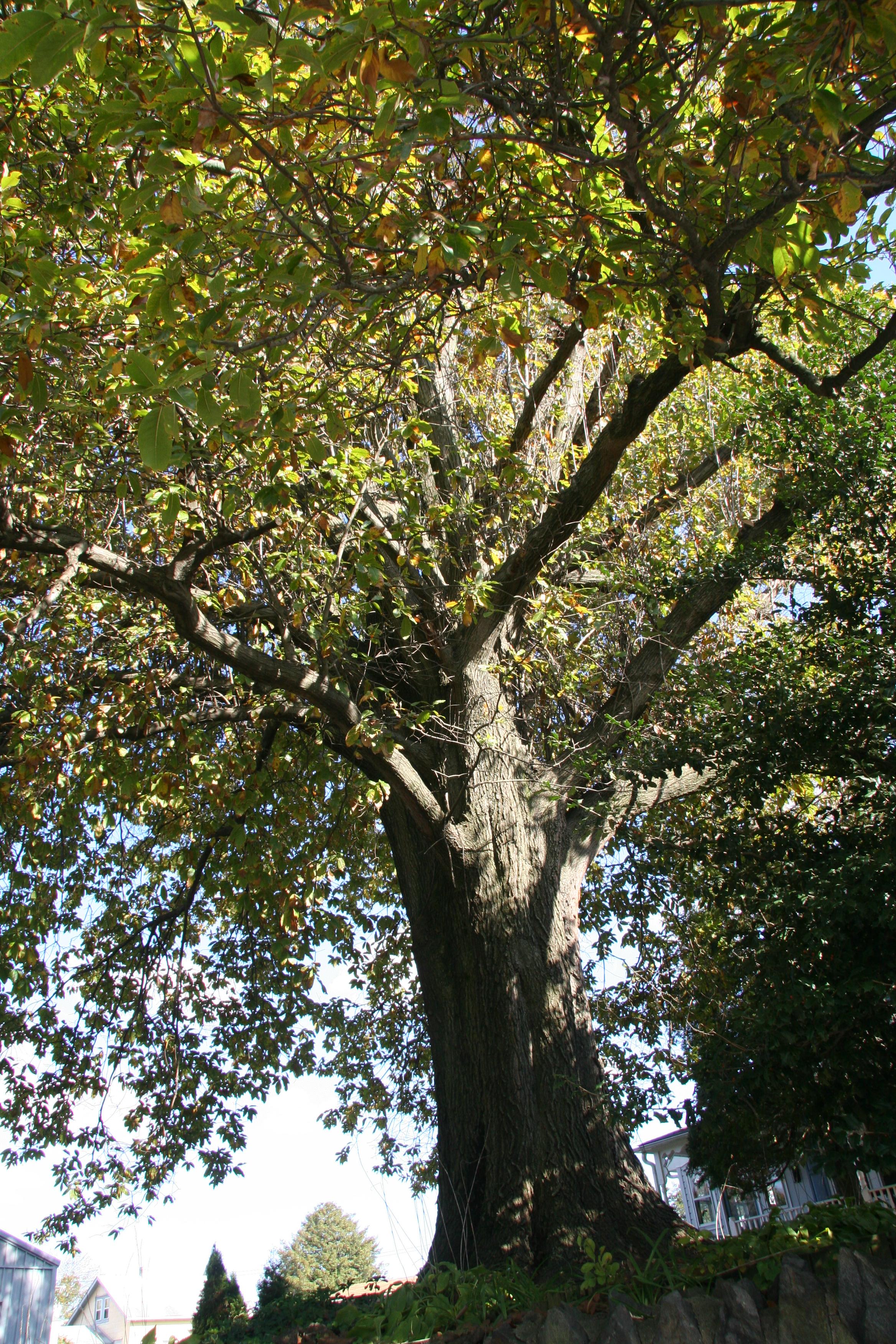 Laurel Oak Delaware Trees