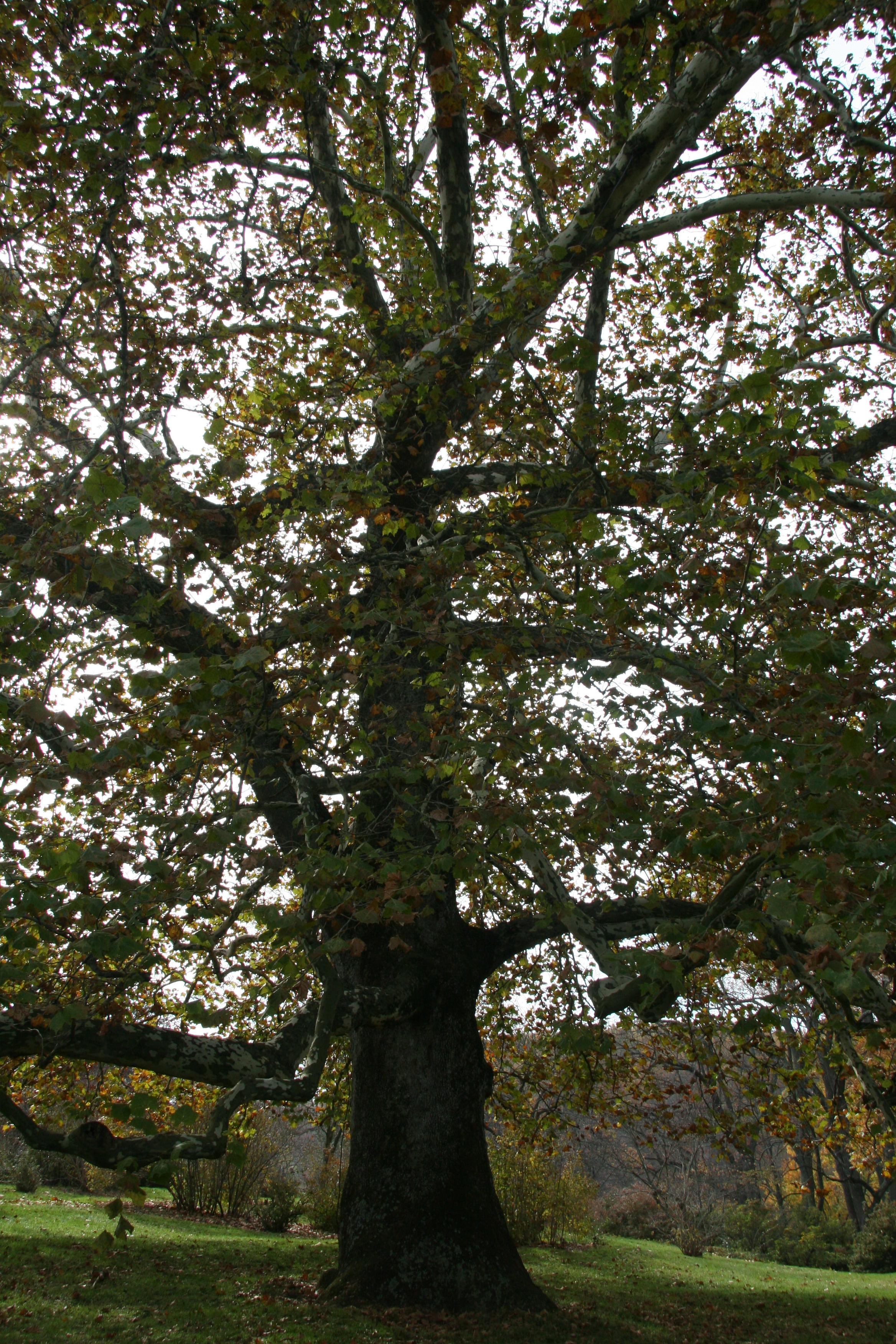 London Planetree Delaware Trees