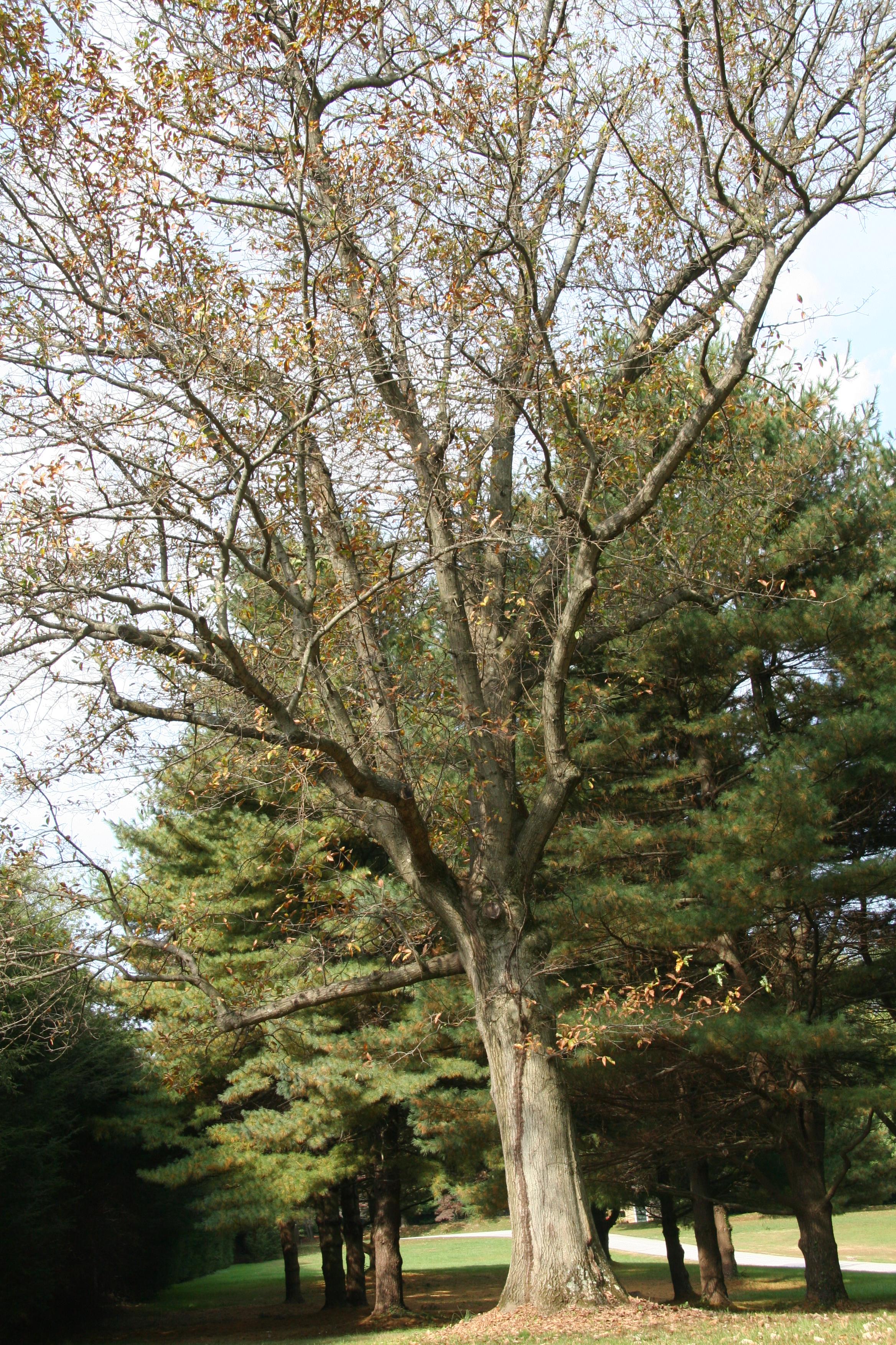 shingle oak � delaware trees