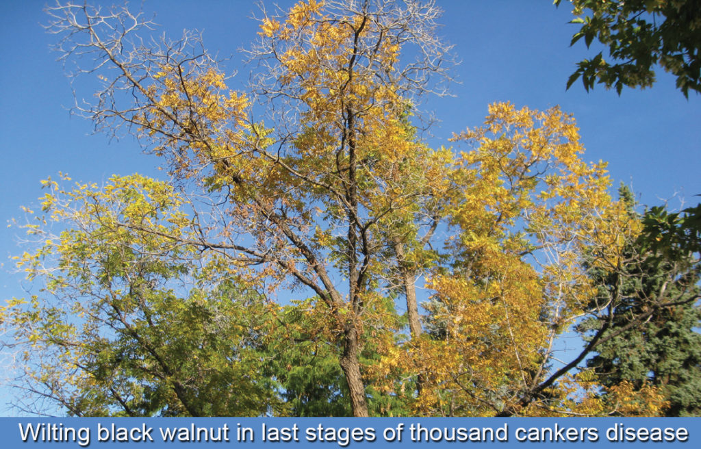 Thousand Cankers Disease – Delaware Trees