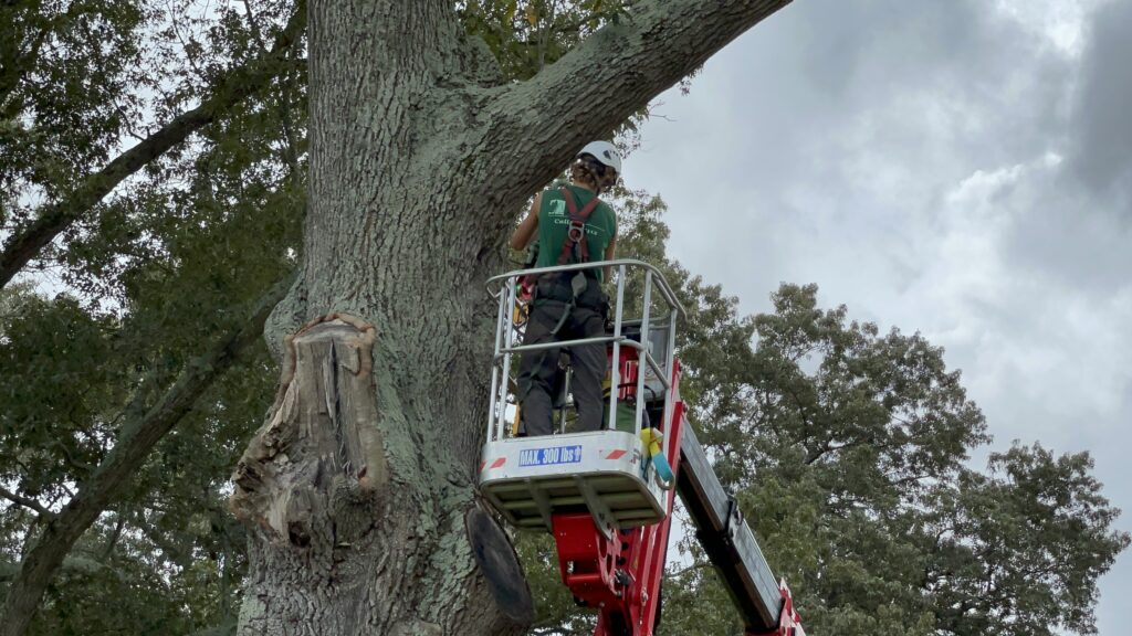 Tree care worker and large oak tree